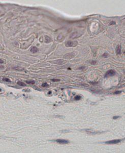Human oral mucosa 3D skin equivalent